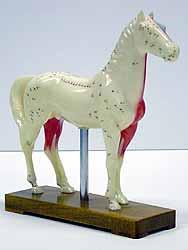 Demonstrációs állat / ló